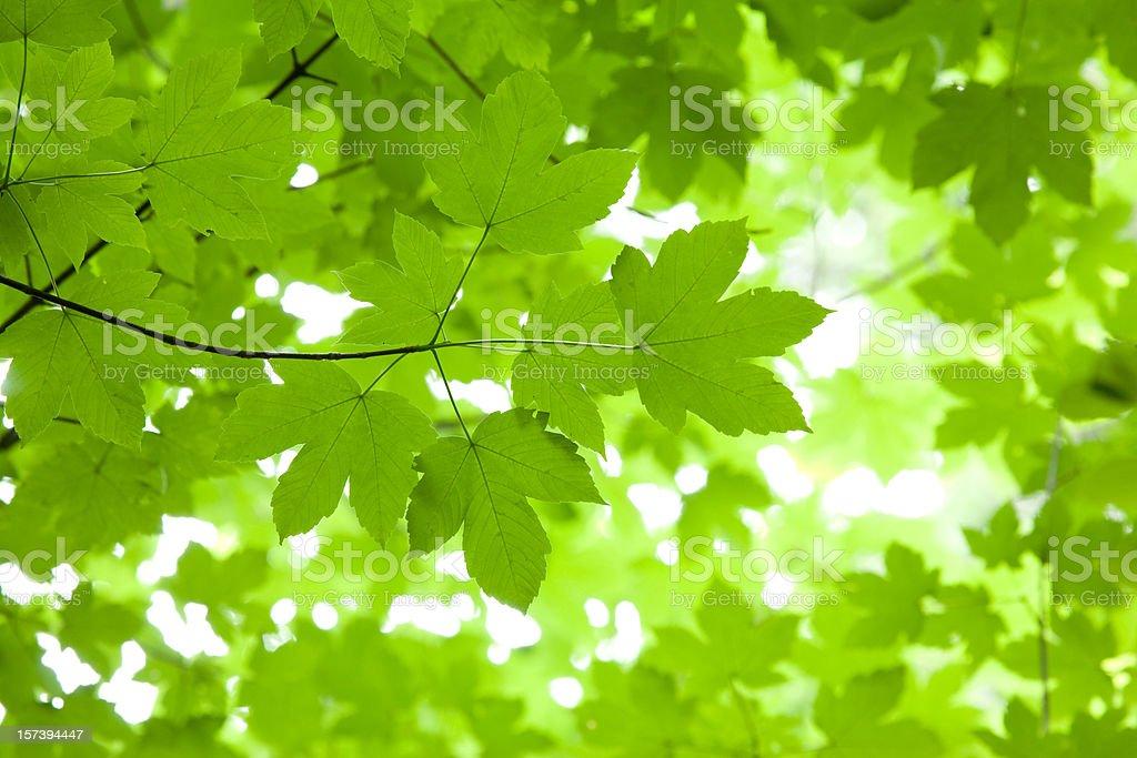 bavarian maple tree royalty-free stock photo