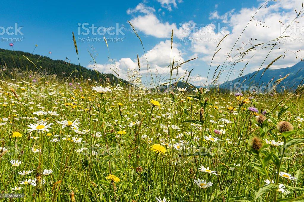 bavarian meadow stock photo