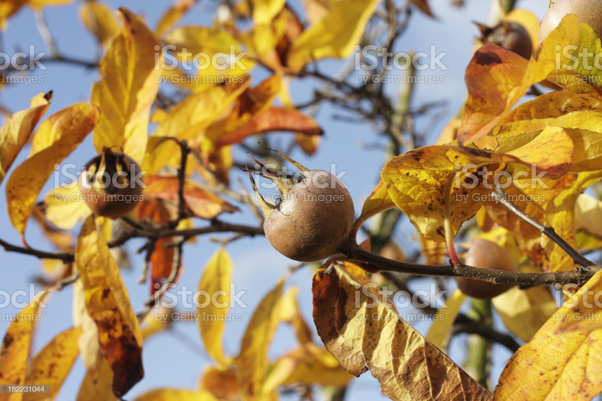 Bawdy autumn fruit medlar brown round Mespilus germanica royalty-free stock photo