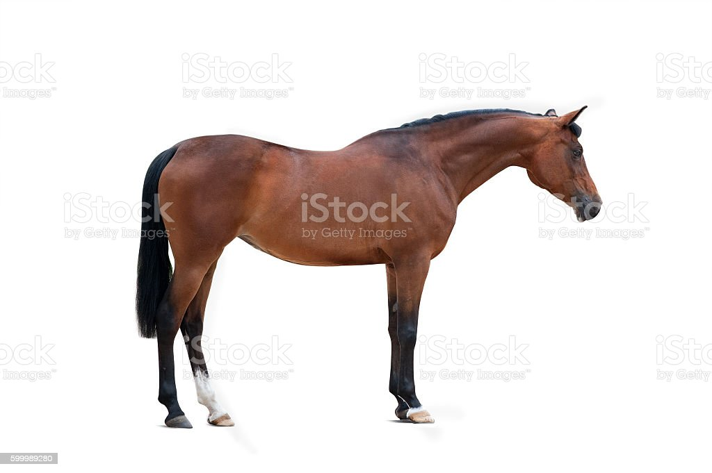bay arabian mare isolated over a white background stock photo