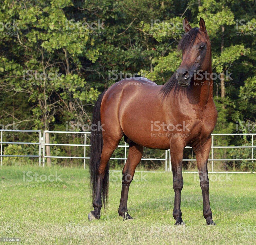 Bay Arabian Stallion stock photo