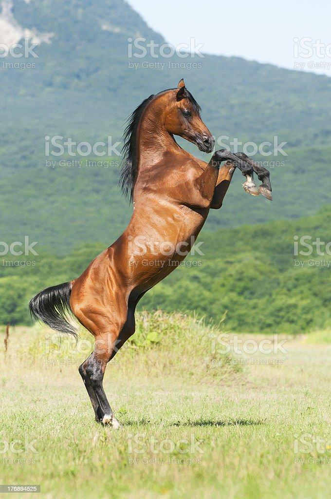 bay arabian stallion rearing stock photo