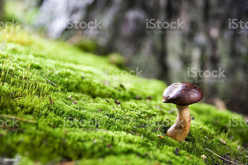 Bay boletus mushroom royalty-free stock photo