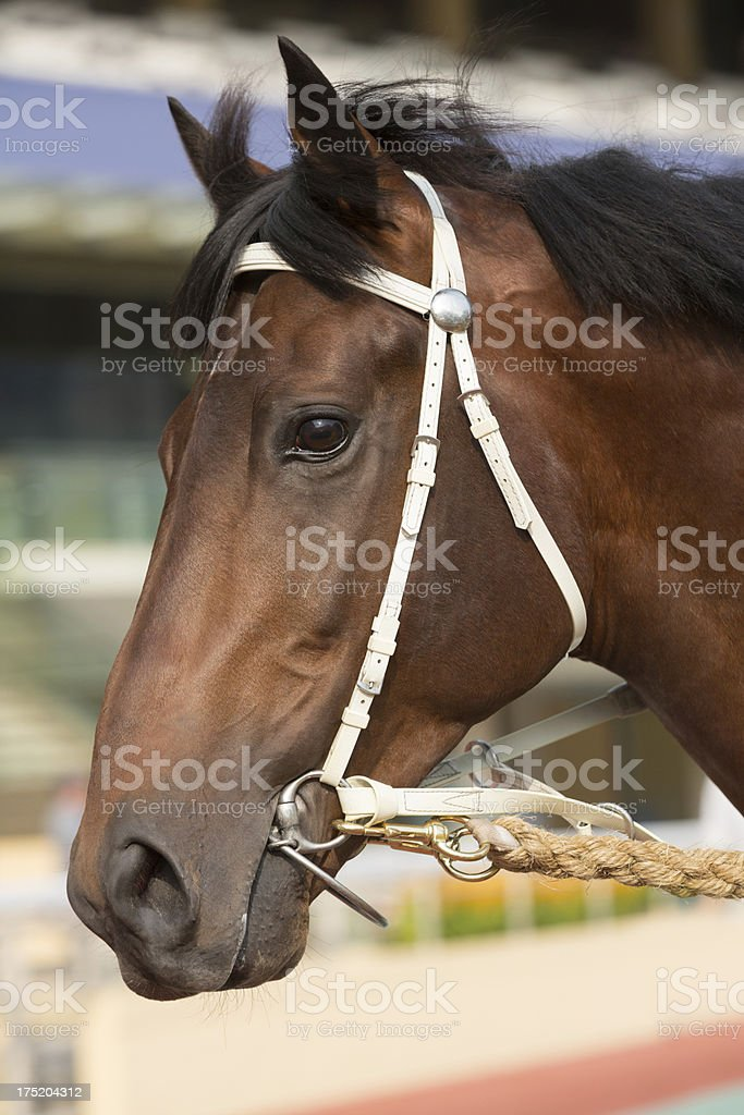 Bay Color Horse Head royalty-free stock photo
