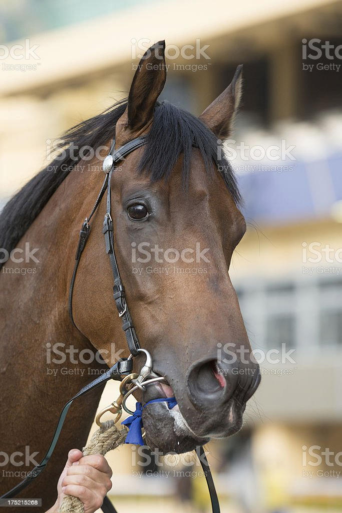 Bay Color Horse Head royalty-free stock photo