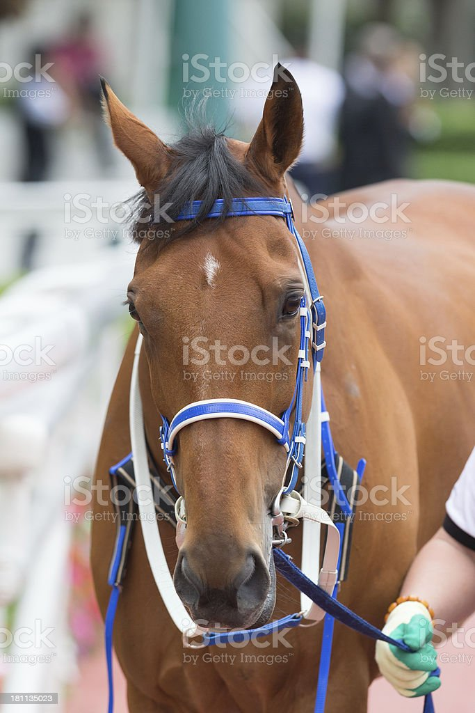 Bay Color Horse royalty-free stock photo