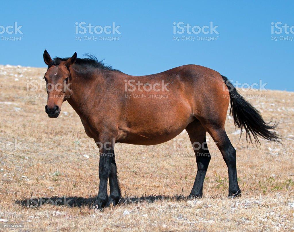 Bay colored Wild Horse Mare on Sykes Ridge stock photo