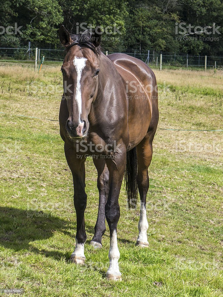 Bay coloured Thoroughbred horse royalty-free stock photo
