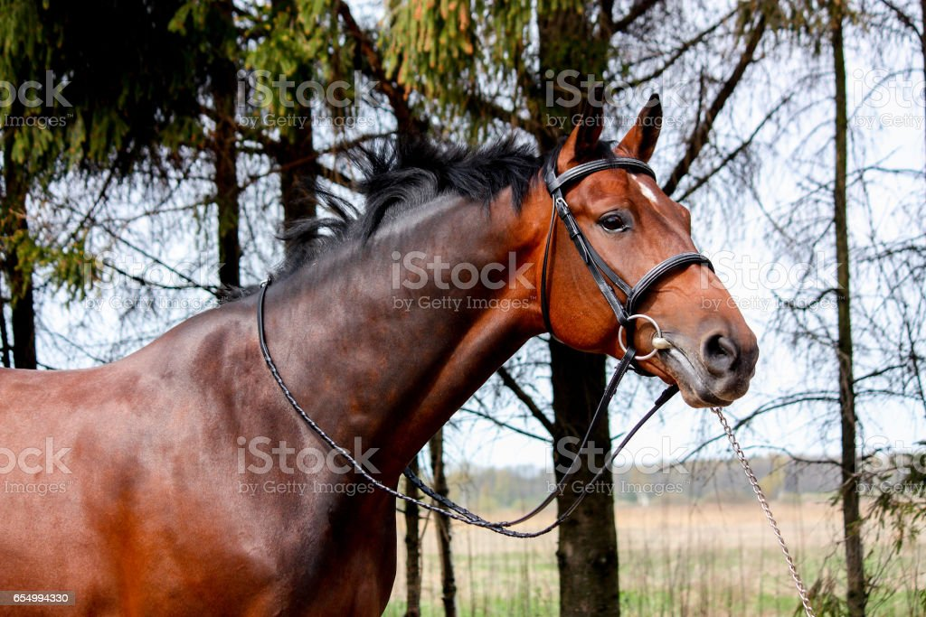 Bay holsteiner horse portrait with bridle stock photo