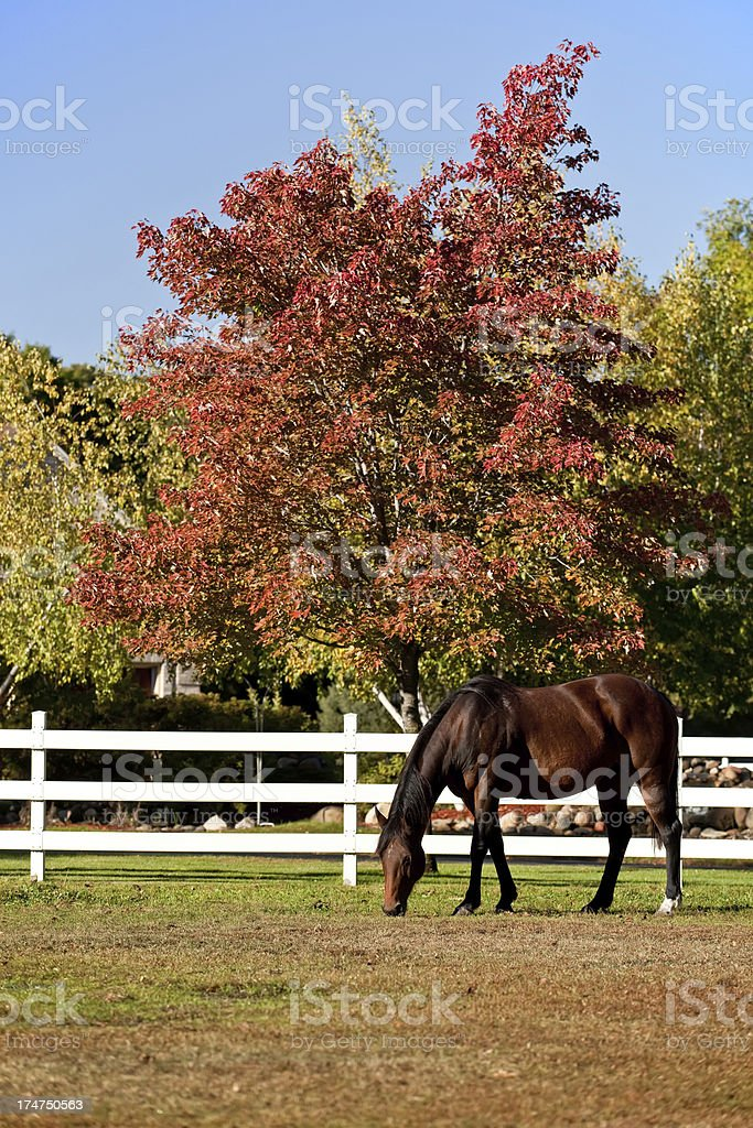 Bay Horse and Autumn Colors stock photo