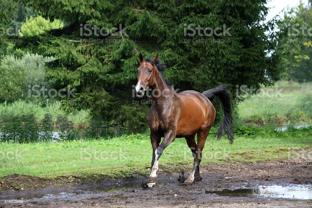 Bay horse galloping free in the meadow stock photo