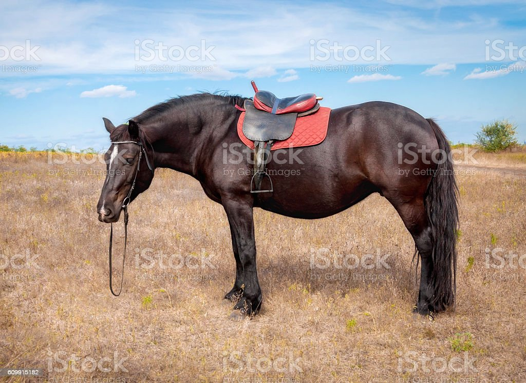 Bay horse harnessed seat stock photo