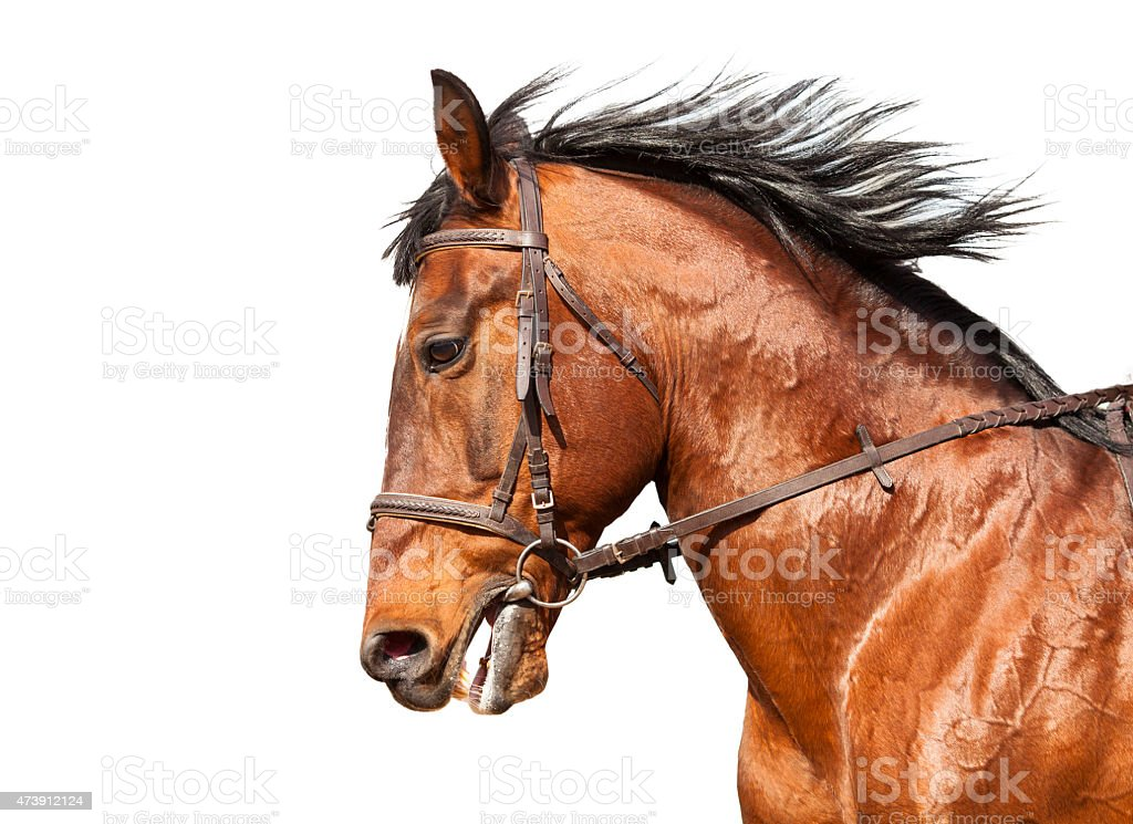 Bay horse in profile on a white background. Close-up. stock photo