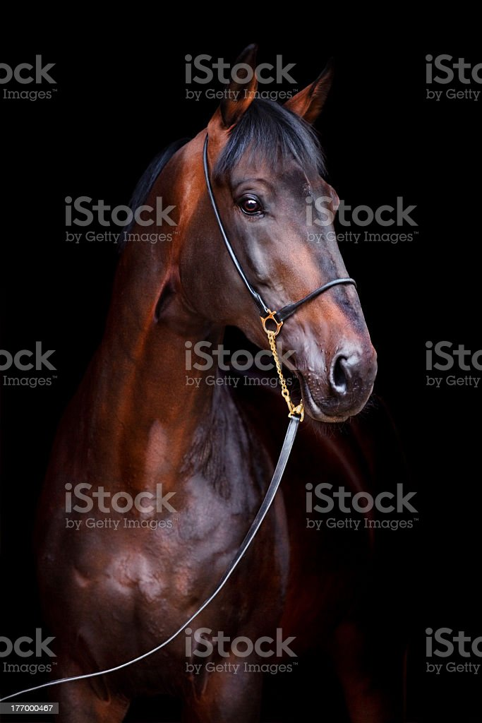 Bay horse isolated on black background stock photo
