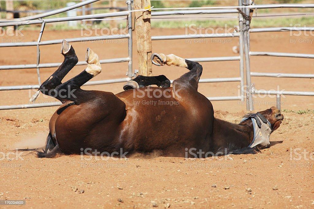 Bay Horse Mustang Dust Bath royalty-free stock photo