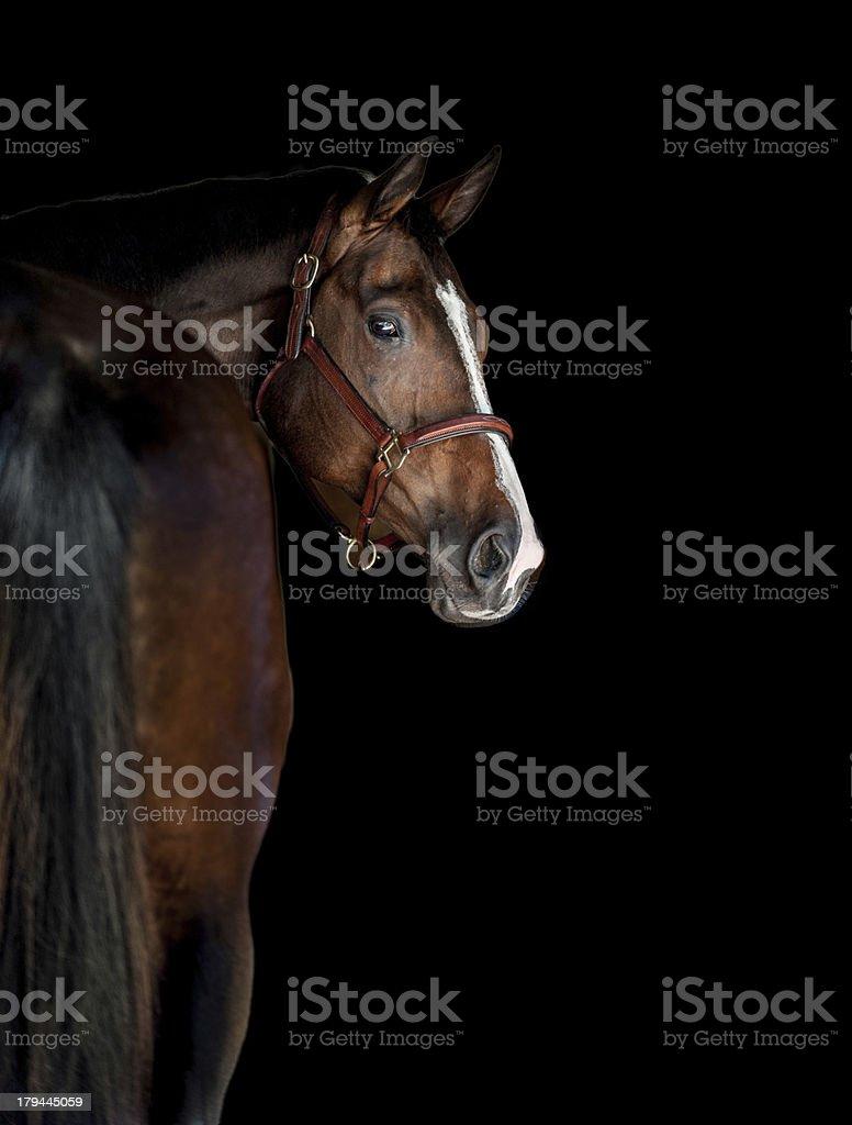 Bay Horse royalty-free stock photo