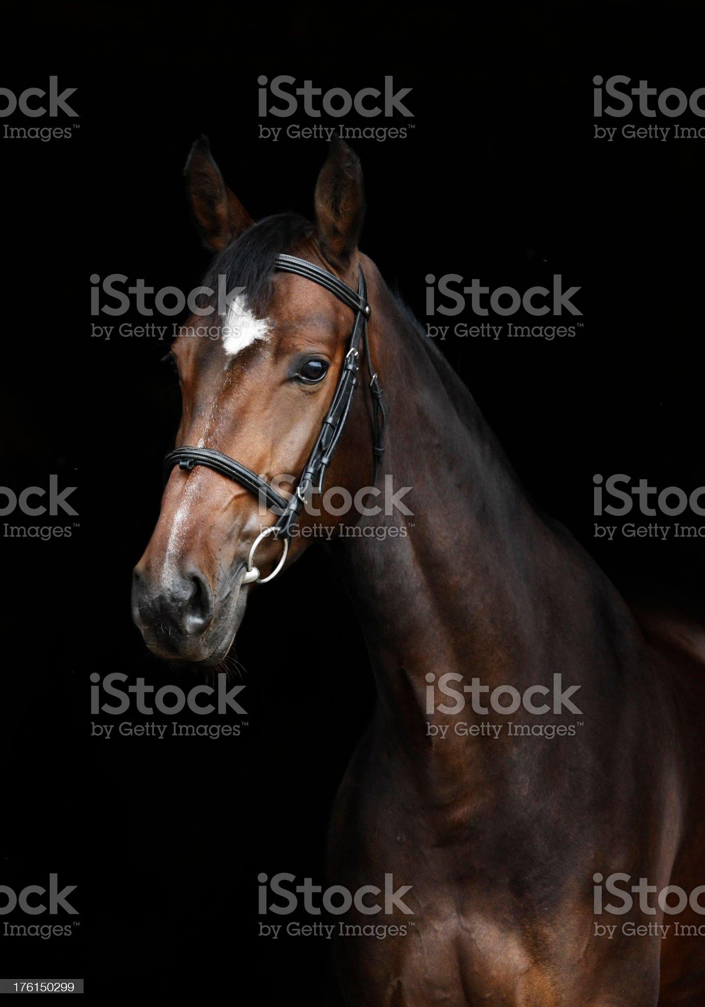 Bay horse portrait royalty-free stock photo