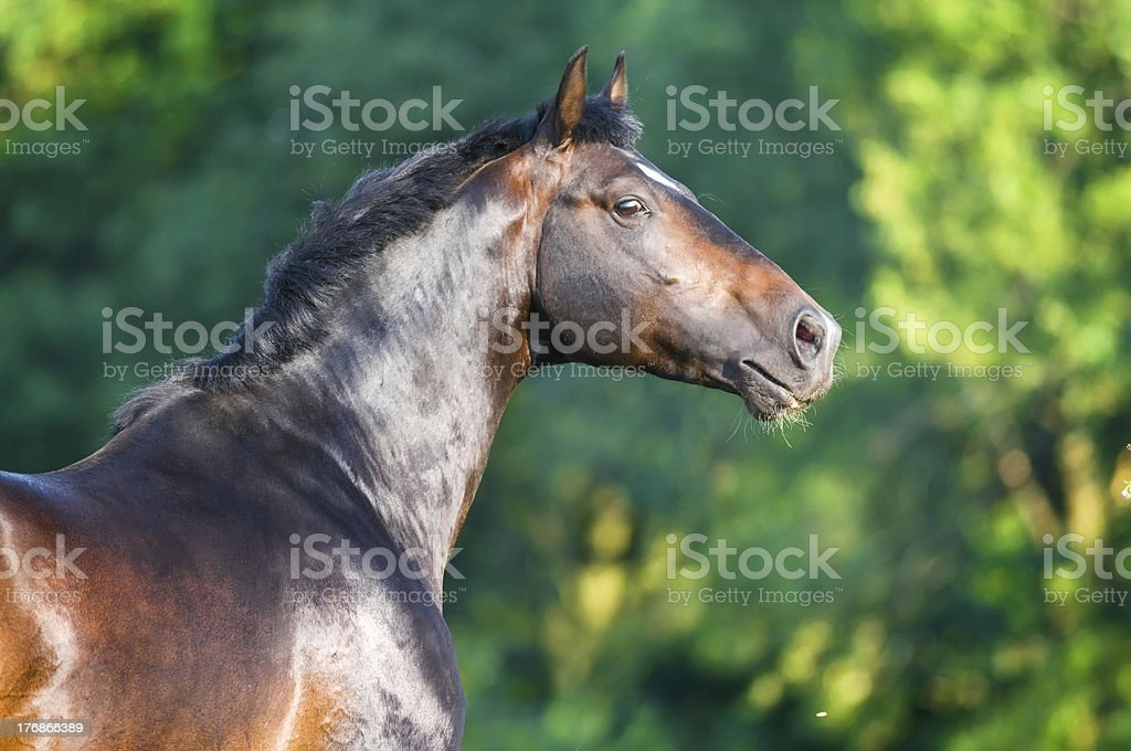 bay horse portrait royalty-free stock photo