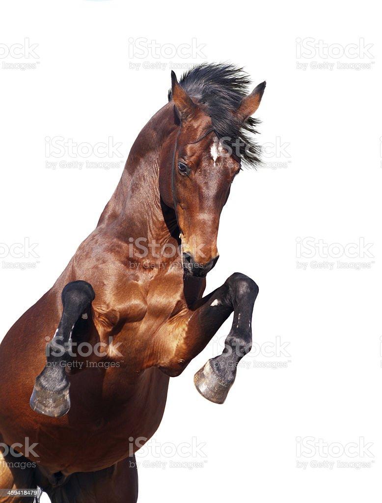 bay horse rearing isolated on white stock photo