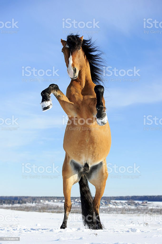 bay horse rearing up, front view, winter stock photo