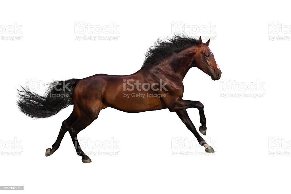Bay horse run stock photo