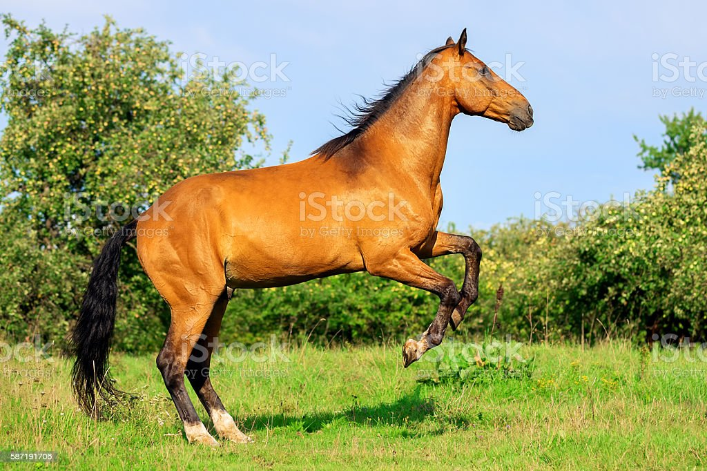 Bay horse standing on its hind legs stock photo