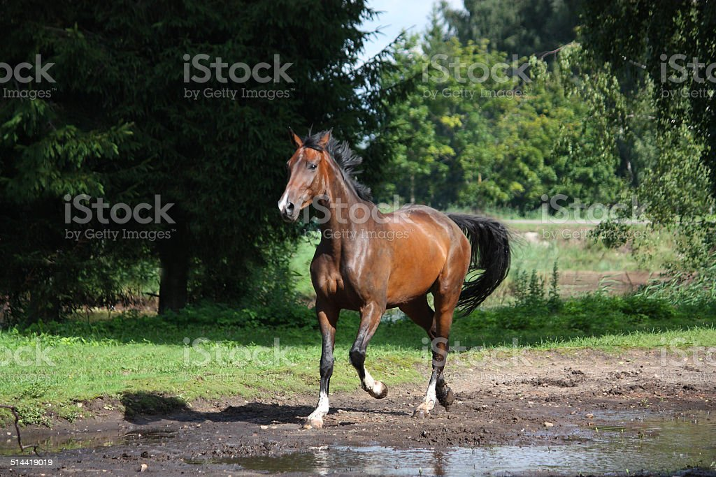 Bay horse trotting at the meadow stock photo