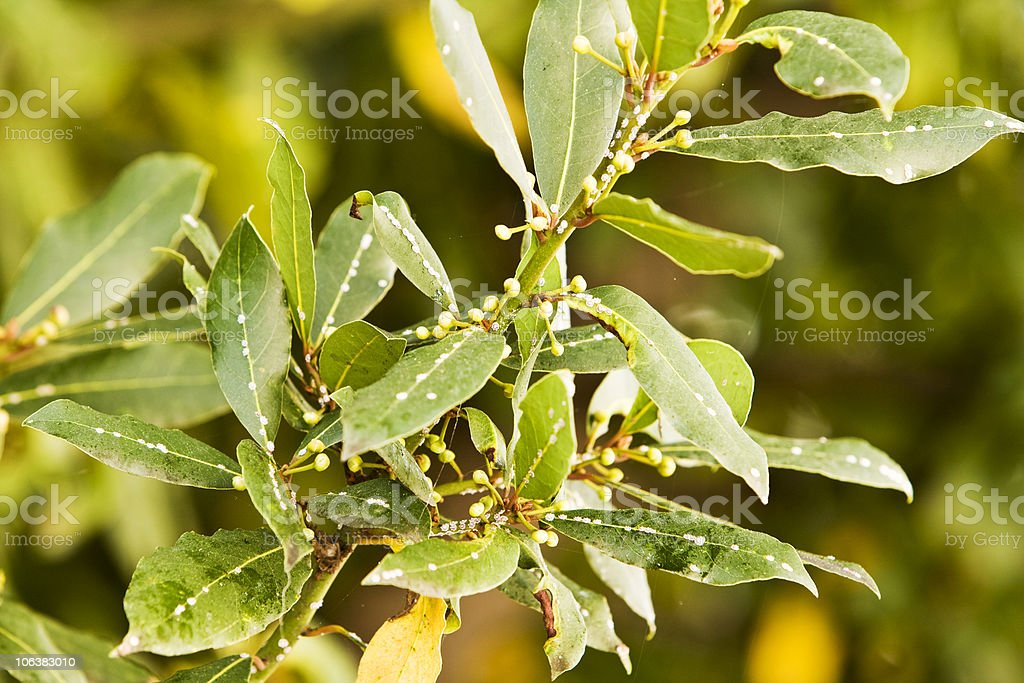 Bay Leaf. Color Image royalty-free stock photo