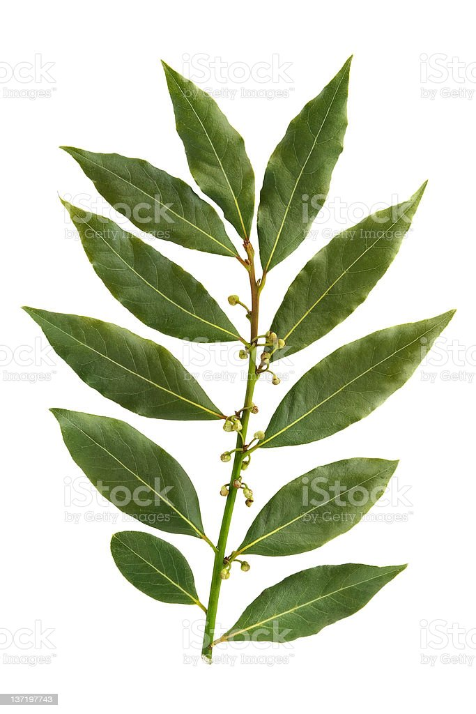 Bay leaf isolated on white background royalty-free stock photo