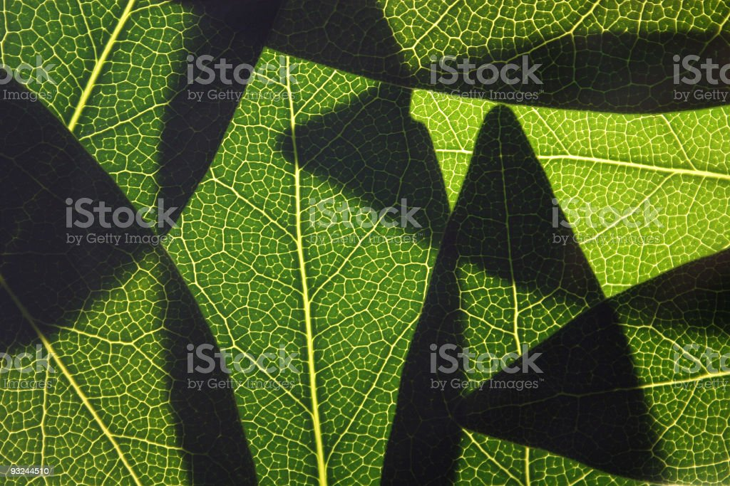 bay leaves backlit royalty-free stock photo