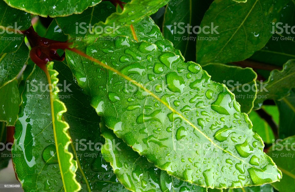 Bay leaves with rain droplets royalty-free stock photo