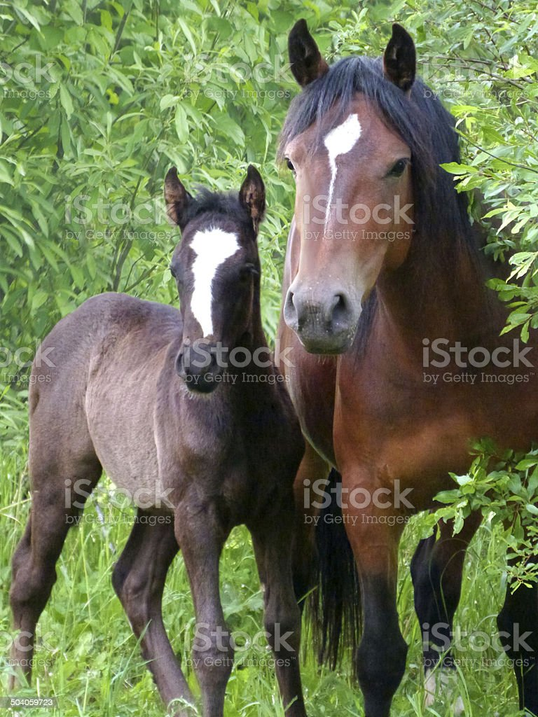 Bay Mare And Foal stock photo