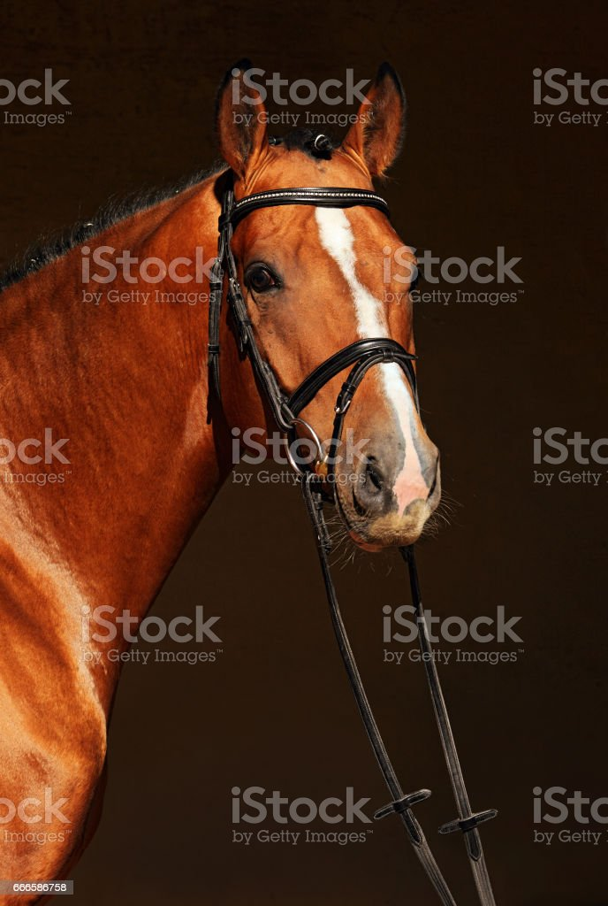 Bay purebred dressage sports horse in dark stable stock photo