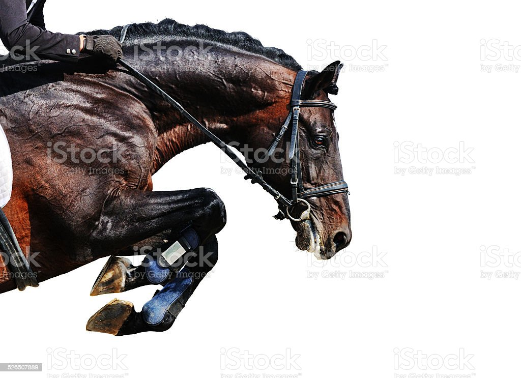 Bay stallion in jumping show, isolated stock photo