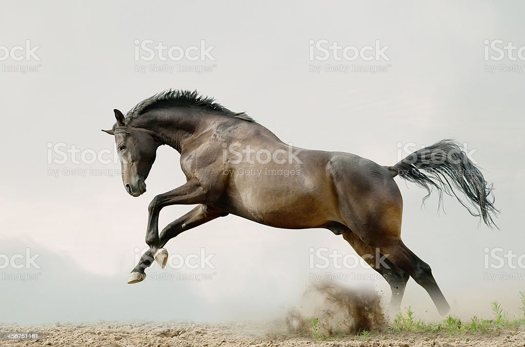bay stallion plays stock photo
