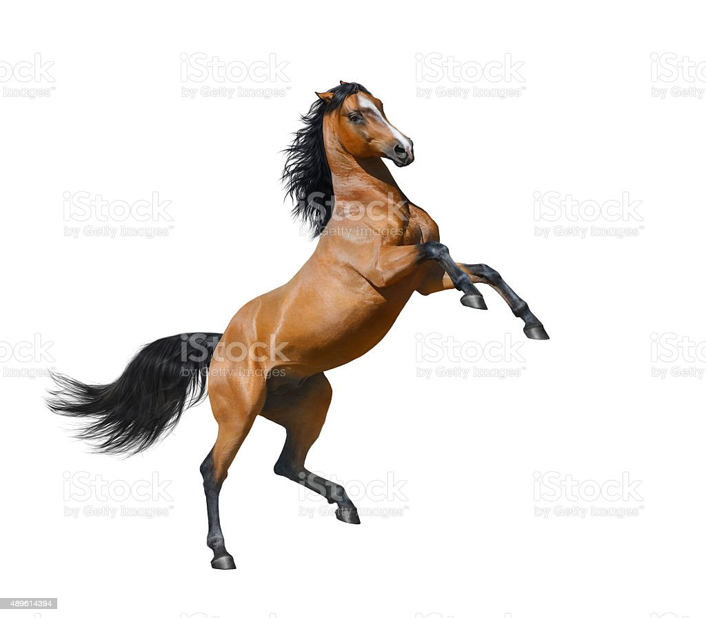 Bay stallion rearing - isolated on a white background stock photo