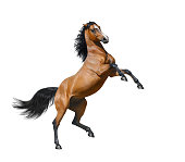Bay stallion rearing - isolated on a white background