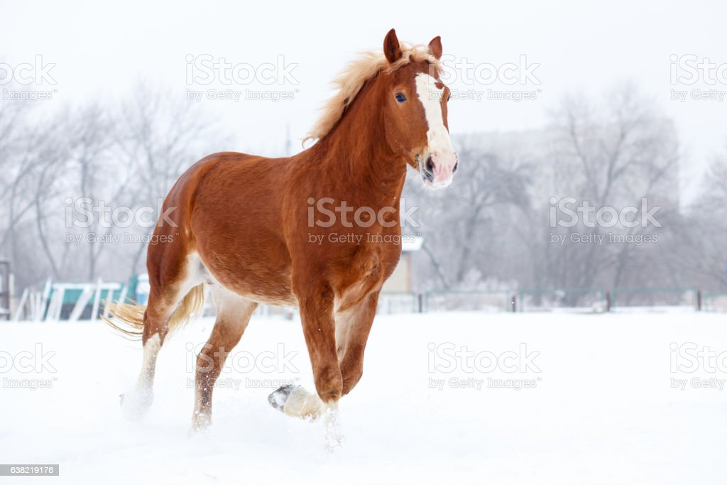 Bay stallion trotting on winter field stock photo
