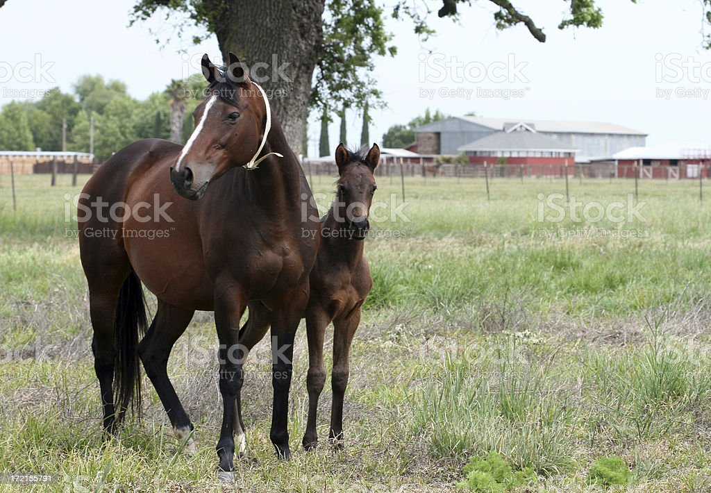Bay Thoroughbred Mare and Foal stock photo