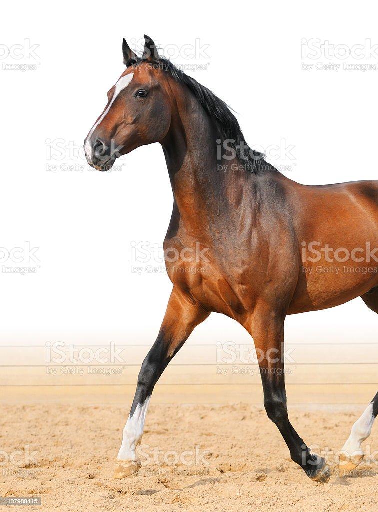 Bay Trakehner stallion royalty-free stock photo