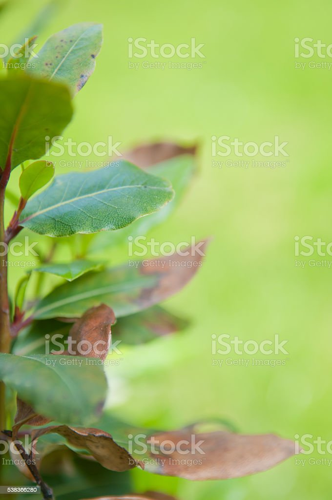 Bay tree Laurus nobilis with blurred green background stock photo