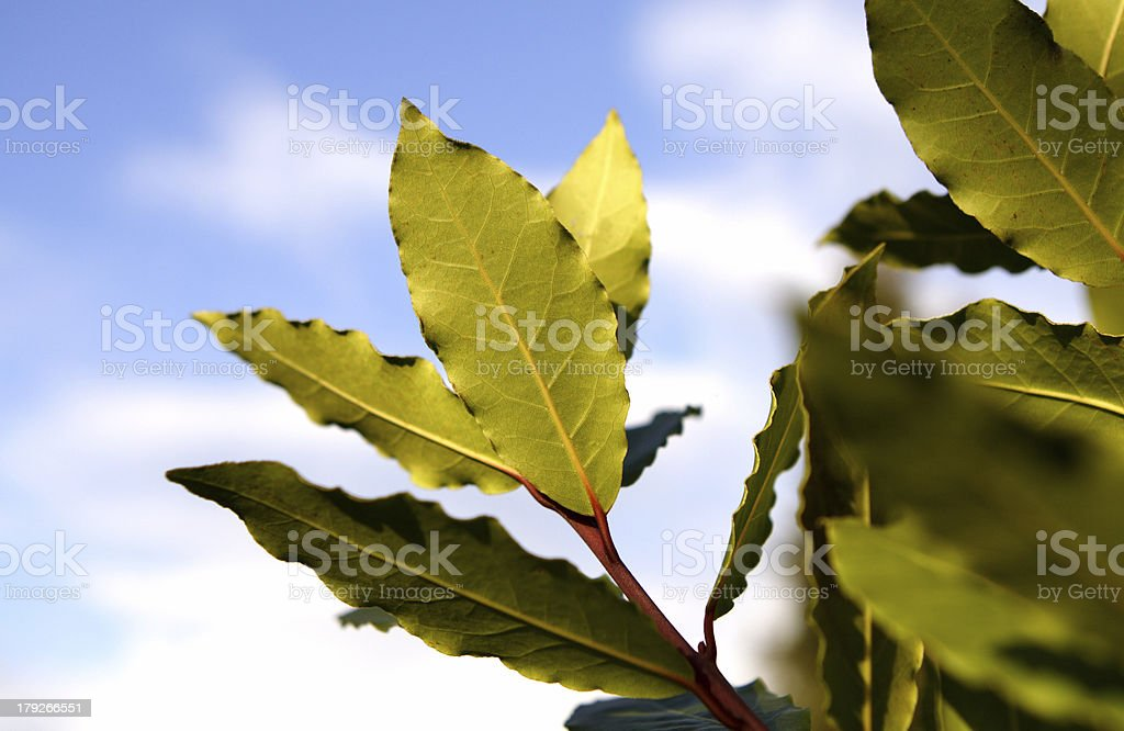 bay tree stock photo