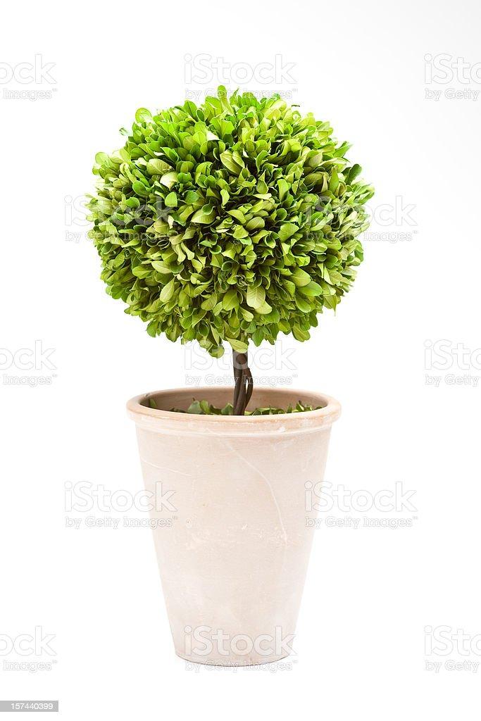 Bay Tree Topiary stock photo