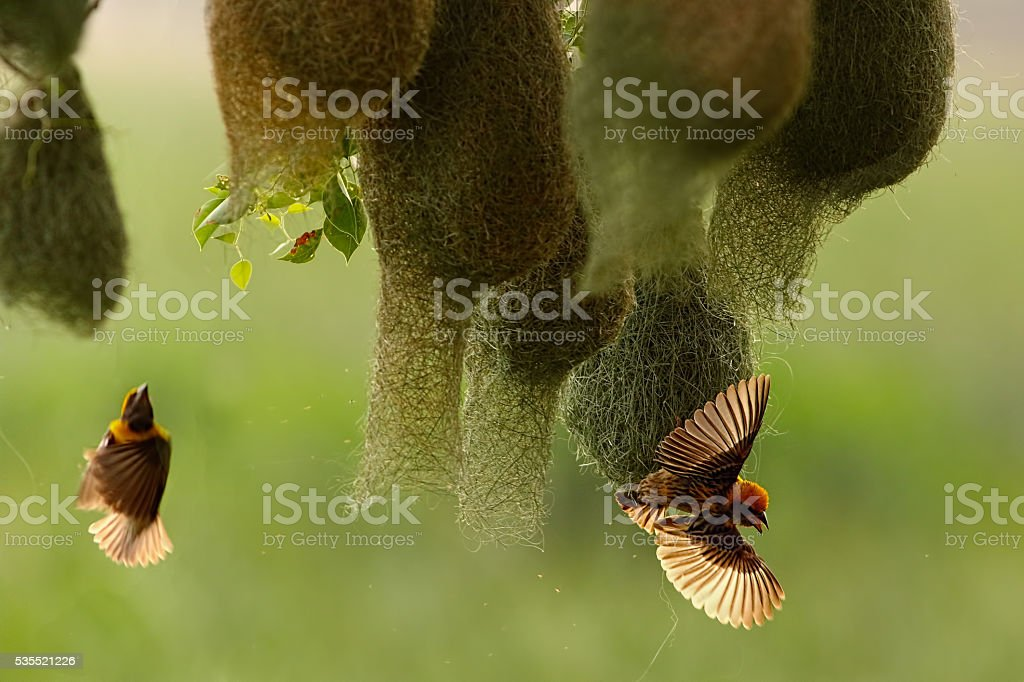 Baya Weaver(male) stock photo