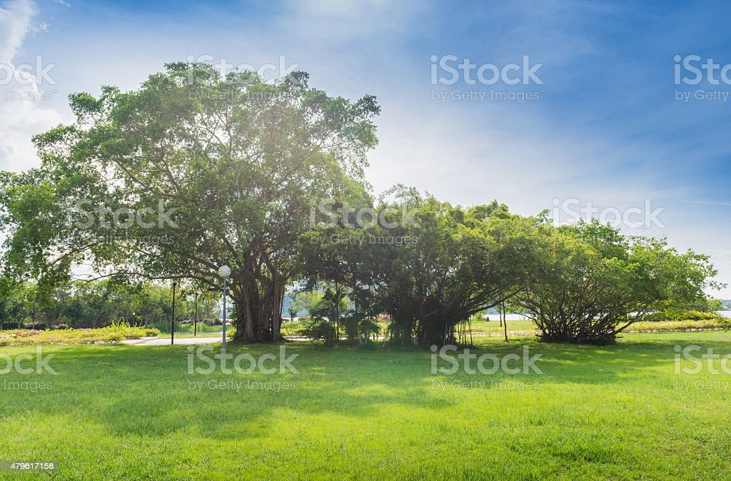 Bayan tree in Green Park stock photo
