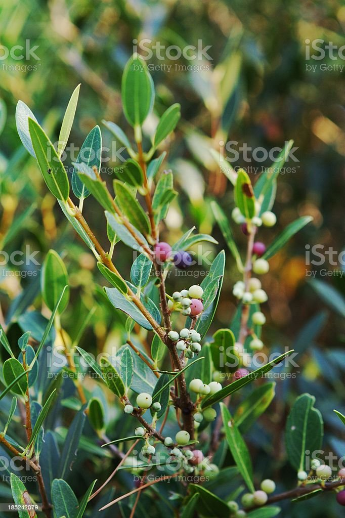 Bayberries on Plant, Vertical royalty-free stock photo