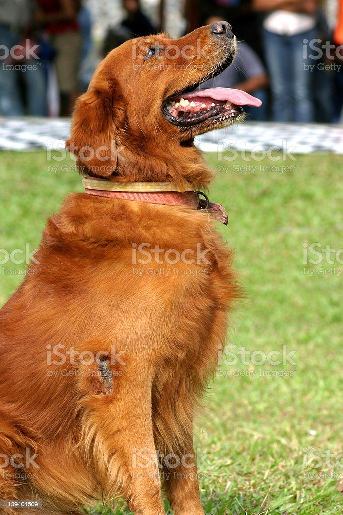 bay,brown,chesapeake,collar,cropped,dog,drool,expecting,flea,fri royalty-free stock photo