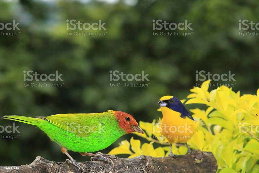 Bay-headed Tanager and Thick-billed Euphonia Together stock photo