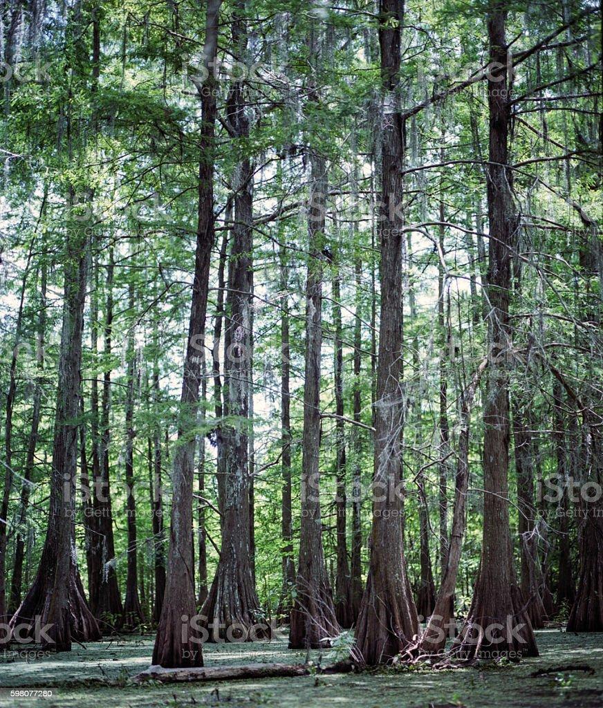 Bayou Teche Trees stock photo