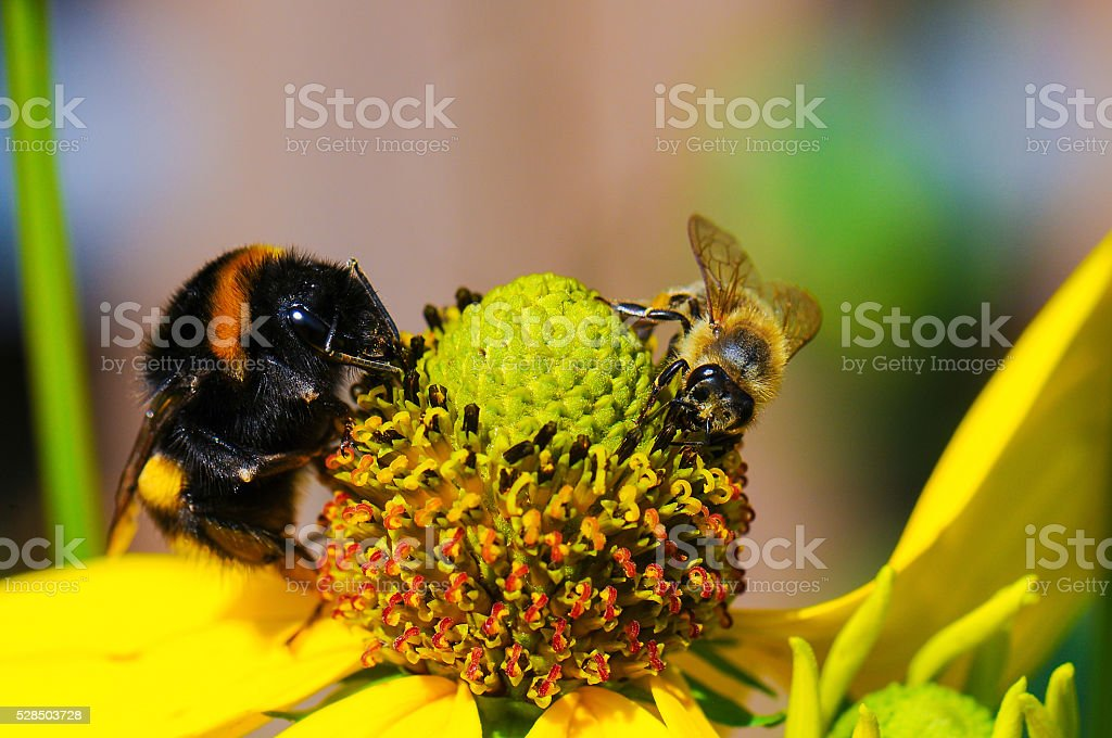 bbe and bumblebee on flower stock photo